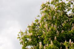 bunch of Aesculus flowers on tree on cloudy sky - stock photo
