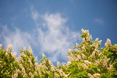 Blossoming Aesculus tree on blue sky in sunlight - stock photo