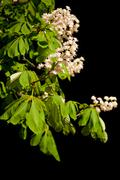 blooming Aesculus tree on black background - stock photo