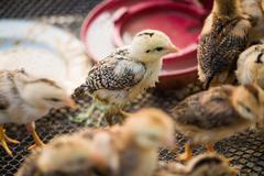 School of cute chicks Stock Photos