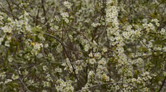 Small white flowers Stock Footage