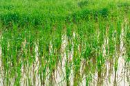 Stock Photo of paddy rice - rice field