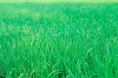 green rice field background - stock photo