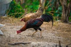 rooster and chickens. - stock photo