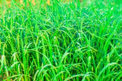 Stock Photo of close up of green fresh paddy rice field