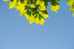 Bunch of green oak leaves in bright sunlight - stock photo