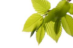 Ulmus or elm green young leaves - stock photo