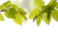 Twigs of Elm leaves and white background - stock photo