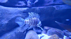 Lion fish in aquarium and coral reef Stock Footage