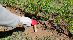 Farmer working in garden - weeding chili pepper crop Stock Footage