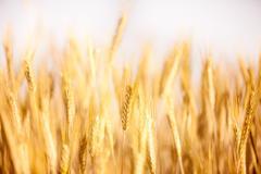 Golden vilja korvat kasvaa pellolla Kuvituskuvat