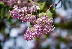 Purple Syringa vulgaris or lilac flowers on twig Stock Photos
