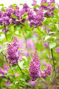Purple Syringa vulgaris or lilac bush detail - stock photo