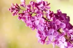 Purple Syringa vulgaris or lilac flowers macro Stock Photos