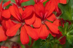 Stock Photo of red garden geranium flowers