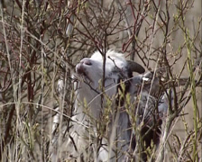 Dutch Landrace goat between shrubs eats buds from birch - on camera Stock Footage