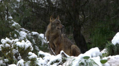 Iberian wolves Stock Footage