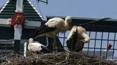 Juvenile White Storks (ciconia ciconia) on nest + zoom out windmill, dike house Stock Footage