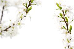 Cerasus or cherry tree bright white flowers Stock Photos
