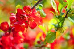 Chaenomeles bright orange-red flowerets - stock photo