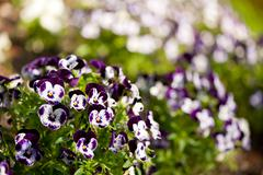 Purple white Viola or pansy variegated flowers - stock photo