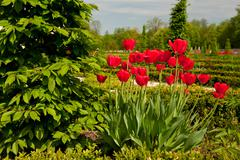 Ulmus called elm and red tulips arranged Stock Photos