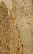 Stock Photo of texture of eucalyptus wood surface.