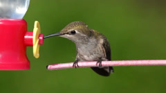 Juvenile Annas Hummingbird (Calypte anna) on a perch at a feeder Stock Footage