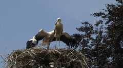 Juvenile White Storks (ciconia ciconia) on nest + flight exercise Stock Footage