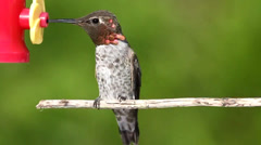 Annas Hummingbird (Calypte anna) on a perch at a feeder Stock Footage