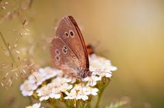 Aphantopus hyperantus or Ringlet brown butterfly - stock photo
