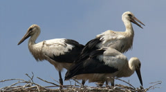 White Storks on nest + zoom out windmill, dike house in Dutch river landscape Stock Footage