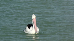 Close up from a pelican in the water in Monkey Mia SharkBay National Park Stock Footage