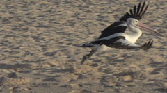 Pelican landing at the beach in slow motion in Monkey Mia SharkBay National Park Stock Footage