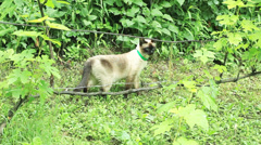 Siamese cat sneaking in garden, steadicam Stock Footage