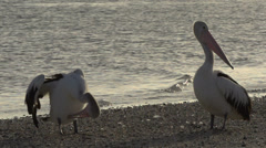 Pelicans in slow motion on the beach in the morning Stock Footage