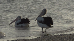 Pelican walks in to the water in slow motion in the morning Stock Footage
