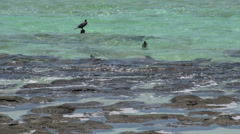 Bird close to the Modern stromatolites in the water in SharkBay National Park Stock Footage