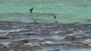Stock Video Footage of Bird close to the Modern stromatolites in the water in SharkBay National Park