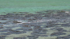 Pan Close up from Modern stromatolites in the water in SharkBay National Park Stock Footage