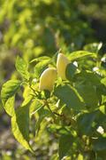 shrub with ripened yellow pepper - stock photo