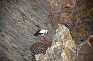 Stock Photo of stork on a cliff at western coast of portugal