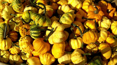 Lot of autumn pumpkin. Stock Footage