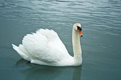 Stock Photo of beautiful swan in the water.
