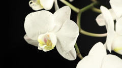 Orchids - 2 SHOTS Stock Footage