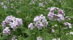 Perennial honesty, Lunaria rediviva blooming in shade with lilac-white flowers Stock Footage