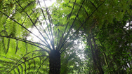 Stock Video Footage of Tree Fern Rainforest - Australian Landscape