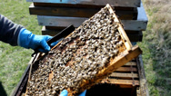 Stock Video Footage of Bees in apiary,beehive,Beekeeper