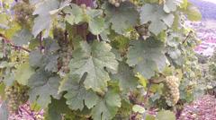 Vineyards. Stock Footage