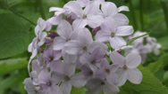 Stock Video Footage of Perennial honesty, Lunaria rediviva blooming close up lilac-white flowers